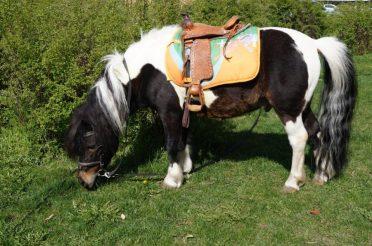 Выбор лошади: «Лимон — супер пони»